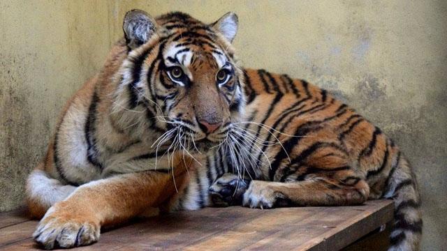 Film – ratujemy poznańskie tygrysy